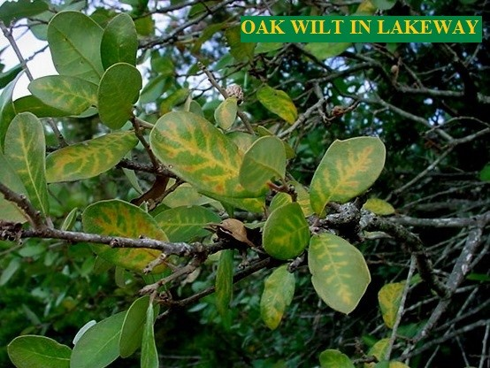 Link to the informational page about Oak Wilt