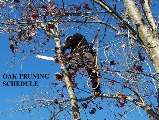 Link to the Oak Pruning Schedule